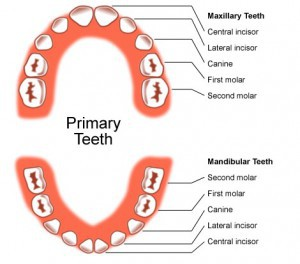 Primary teeth diagram